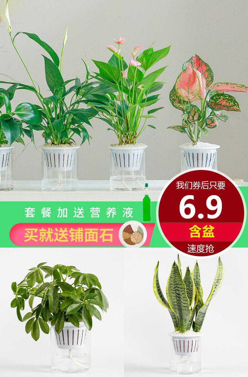 带盆6.9元!办公室水培绿植盆栽